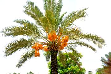 dates tree in summer near village