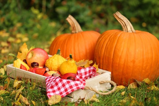 Autumn harvest .Autumn abundance.Two large pumpkins,box with apples, physalis, chestnuts and yellow leaves on a lawn in warm sunlight.Autumn mood in warm tones.
