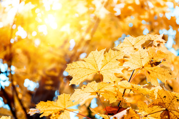 Colorful maple leaves on a background of trees