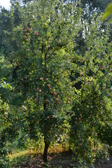 ecological production in the region of Noszvaj, Hungary. Grapes, apples, pears.