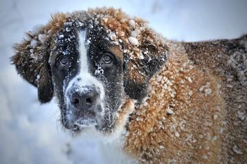 St saint Bernard dog breed big snow animal friend cold close up