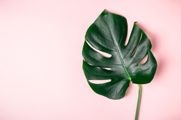 Monstera leaf on a pink background. Summer exotic minimalistic background