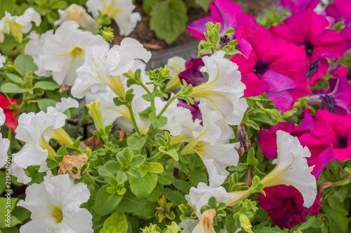 Village rural garden flower bed of red and white flowers of garden flower bed of red and white flowers of petunia mightylinksfo