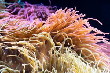 Heteractis magnifica, Colored long tentacle Anemone
