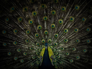 beautiful male peacock with open tail