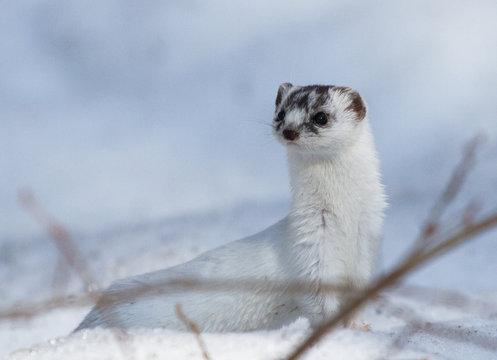 Least weasel (Mustela nivalis) on the snow