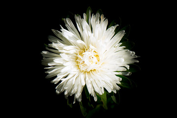 A white astrose flower close-up view from above on a dark background