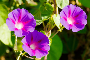 Opened flowers of purple bindweed contribute as a background