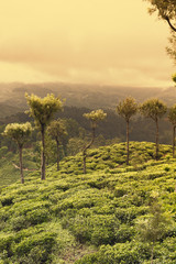 Wall Mural - sunset on tea plantations