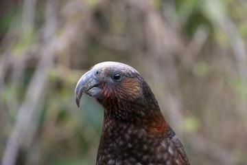 Endangered New Zealand Kaka Portrait