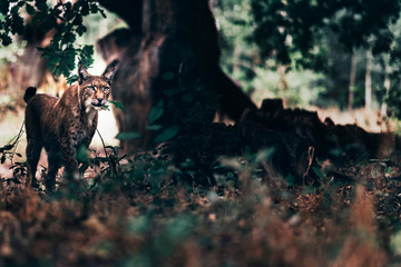 Eurasian lynx walking in forest.