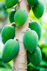 fresh green papaya in papaya tree