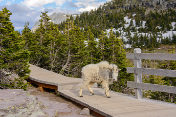 Mountain goat in Glacier National Park Montana, USA