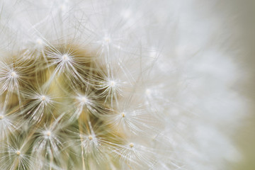 Dandelion, close-up. Macro with shallow depth of field.