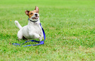 Adopt a pet concept with happy and excited dog running with leash on ground