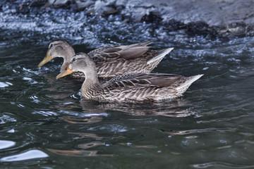 Ducks in a quiet river creek