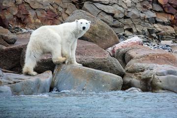 Printed roller blinds Polar bear July 10, 2011, Archipelago Novaya Zemlya, Arctic: Polar bear on the shore of the island.