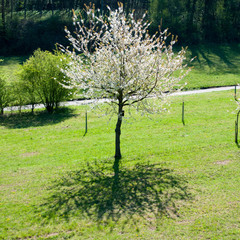 Baum blüht weiß mit schwarzem Schatten