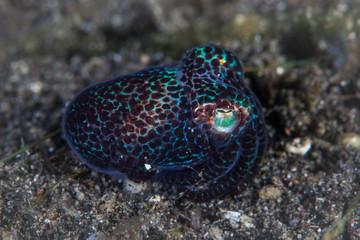 Iridescent Bobtail Squid on Black Sand in Lembeh Strait