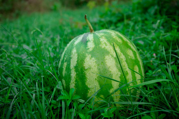 Green watermelon on grass or growing watermelon in garden.