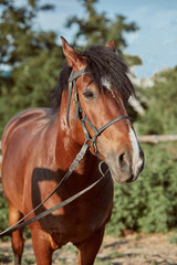 Beautiful brown horse, close-up of muzzle, cute look, mane, background of running field, corral, trees