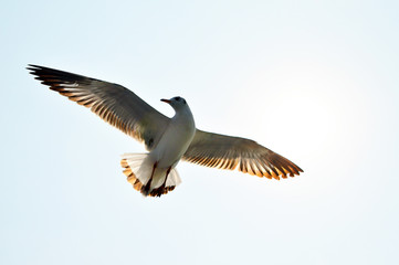 Beautiful wings flying seagull in sky