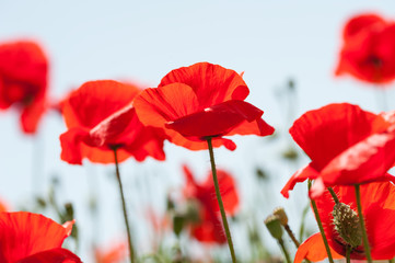 Foto auf Leinwand Mohn Red poppy flowers against the sky. Shallow depth of field