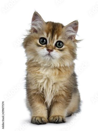 Super Sweet Golden British Longhair Cat Kitten With Big Green Eyes