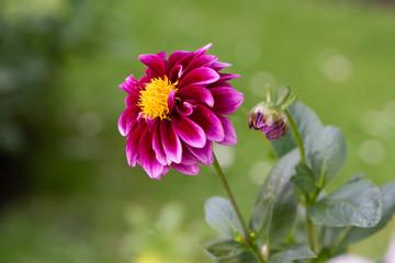 Rosa Blume mit unscharfen, grünen Hintergrund