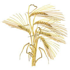 Bouquet, composition with yellow ears of dried wheat, whole grains oats or barley. Watercolor hand drawn painting illustration isolated on a white background.