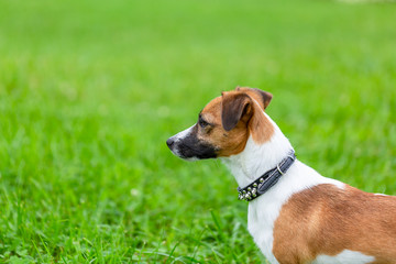 Jack Russell Terrier dog is standing  on the green grass of the park