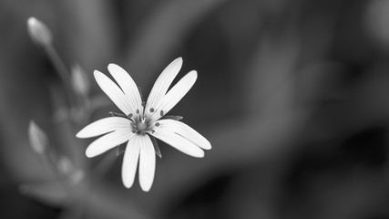 Flowering chickweed in black and white. Stellaria graminea. Artistic close-up of a beautiful wild herb bloom in spring meadow. Melancholic dark and sad floral background, copy space. Selective focus.