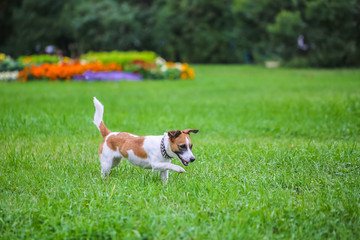 Happy funny Jack Russell Terrier dog playing, running and jumping on the green grass of the park