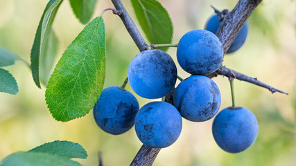 Group of ripe blue sloes on branch with green leaves. Prunus spinosa. Beautiful close-up of wild blackthorn tree. Fresh fruit berries with tart astringent taste. On blurry background of summer nature.