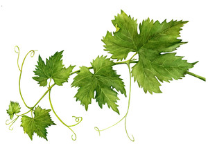 Grape branch with leaves close up. Watercolor hand drawn painting illustration isolated on a white background.