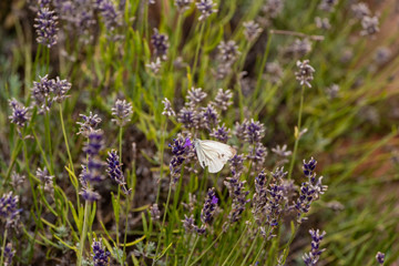 Outdoor spring / summer color portrait of a single white pieris rapae, cabbage white butterfly sitting on a violet blossom in a field of lavender on a warm summer day with blurred natural background