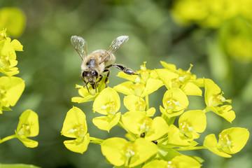Bee with steppes spurge - Euphorbia seguieriana