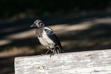 Eurasian magpie (pica pica)  in a natural habitat.
