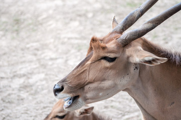 Wild deer chewing its food, sitting with his family on the ground, at the zoological park