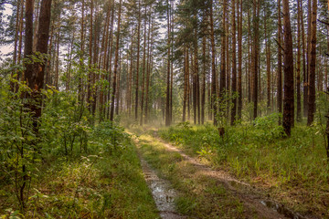 Wet path in the forest after the summer rain.