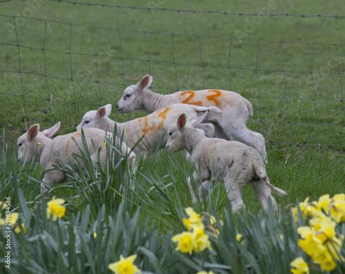Flock of running lambs