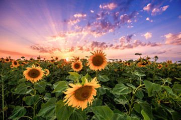 Fototapete - Summer landscape: beauty sunset over sunflowers field