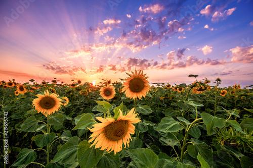 Fototapete Summer landscape: beauty sunset over sunflowers field