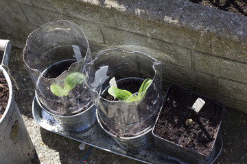 Seedlings in homemade recycled plastic greenhouse
