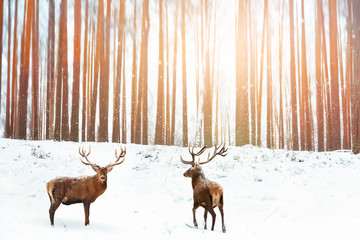 Fototapete - Group of Noble red deer in the background of a winter fairy forest. Snowing. Winter Christmas holiday image.