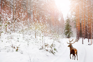Fototapete - Noble deer in winter fairy forest.  Winter Christmas holiday image.