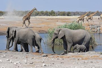 Elefantenherde (loxodonta africana) im Wasserloch Chudob im Etosha Nationalpark in Namibia