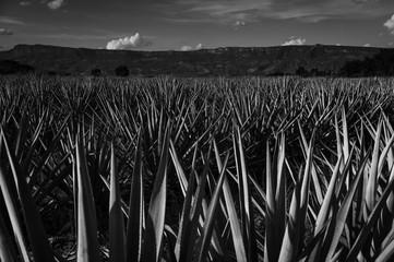 Black and white agave landscape