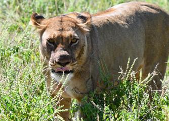 Löwe in Botswana - Moremi Reserve im Okavango Delta