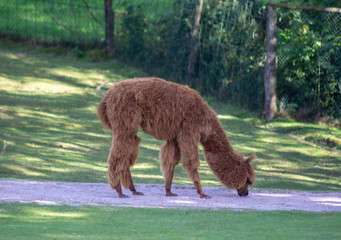 brown alpaca eating from the ground